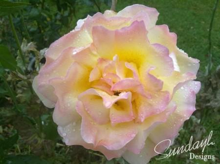 Sunlight Rose
