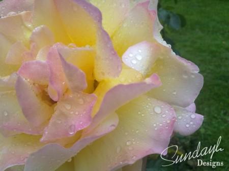 Sunlight Rose close up